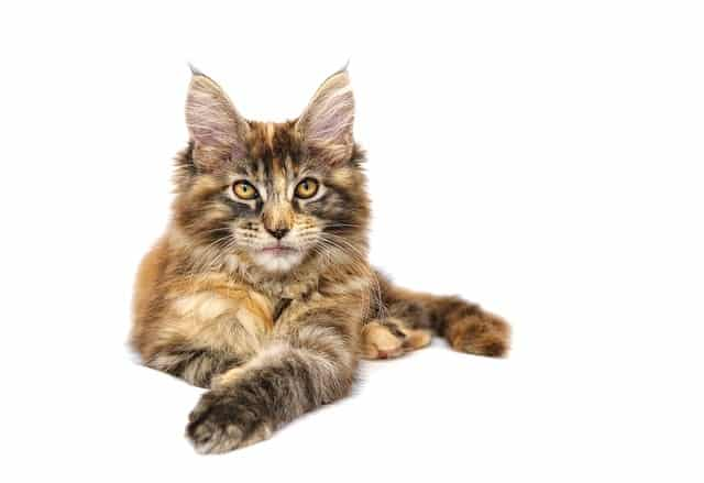 picture of a maine coon