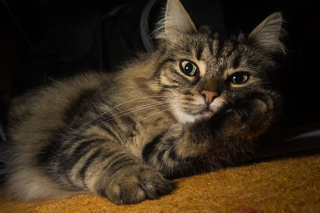 picture of Norwegian forest cat