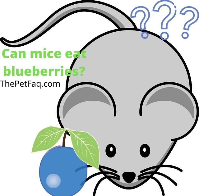 can mice eat blueberries