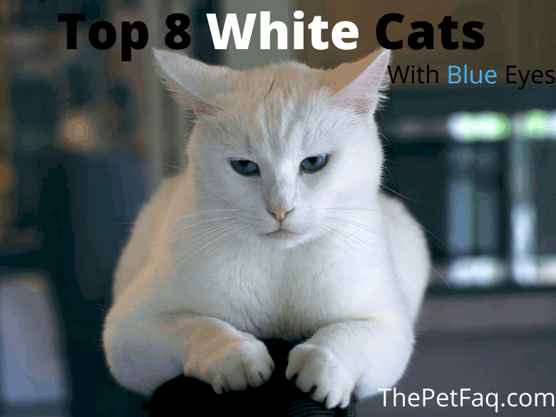 White cats with blue eyes